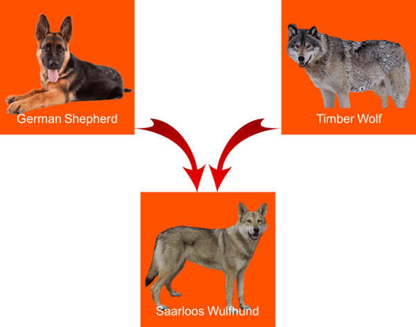 The Mysterious German Shepherd Wolf Mix – Characteristics