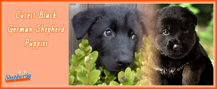 Black German Shepherd Puppies 1